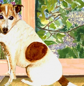 Abbi,-Jack-Russell-Terrier